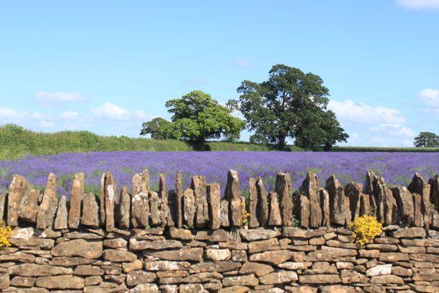 Somerset Lavender Farm
