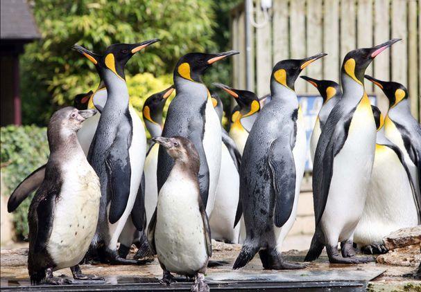 Penguin Week at Birdland