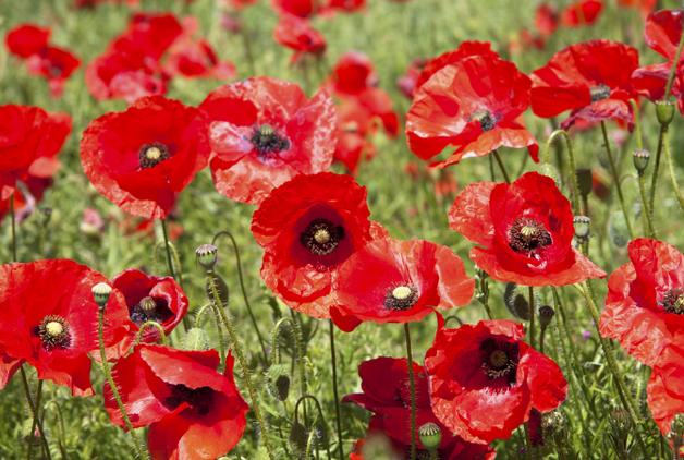 Remembrance Service Poppy Drop