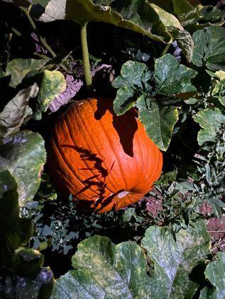 Elm Farm PYO Pumpkin Patch