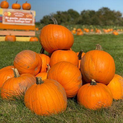 Over Farm PYO Pumpkins