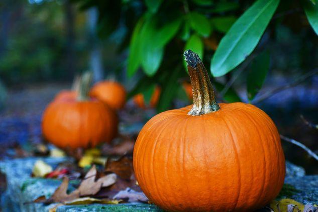 Pumpkin hunt at Hatchlands Park