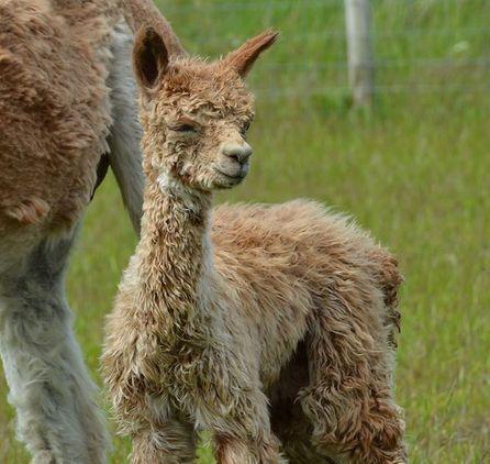 West Wight Alpacas and Llamas