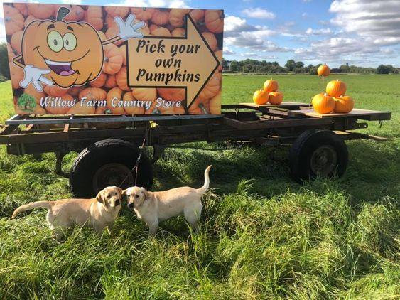 Willow Farm PYO Pumpkins Lincolnshire