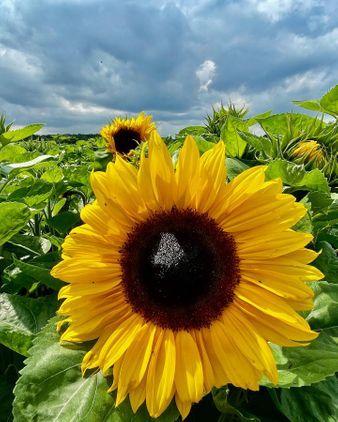 School Farm PYO Sunflowers
