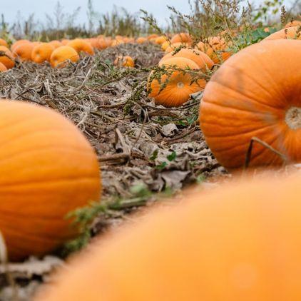 Copas Farm PYO Pumpkins
